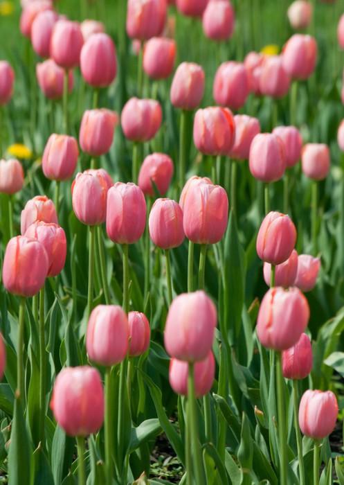 fototapete bl henden rosa tulpen pixers wir leben um zu ver ndern. Black Bedroom Furniture Sets. Home Design Ideas