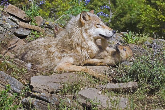 Fototapete wolf mit ihrem jungen pixers wir leben um for Fototapete jungen