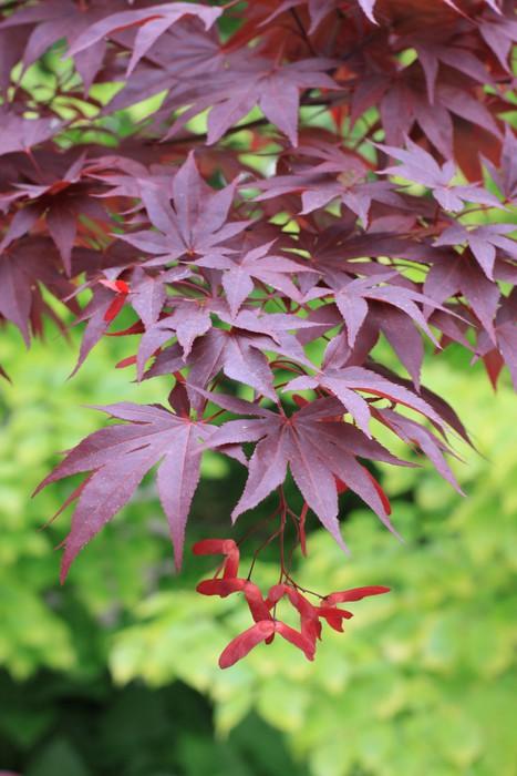 Vinylová Tapeta Japonský javor - Rostliny