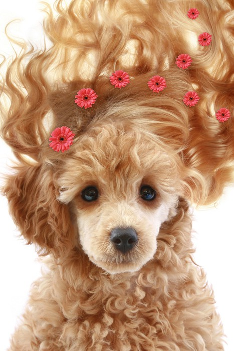 Vinylová Tapeta Malé aprikot štěně s dlouhými vlasy - Móda