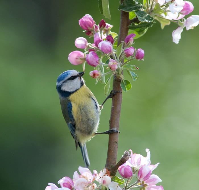 Vinylová Tapeta Sýkora modřinka lov hmyzu v květu jabloně - Ptáci
