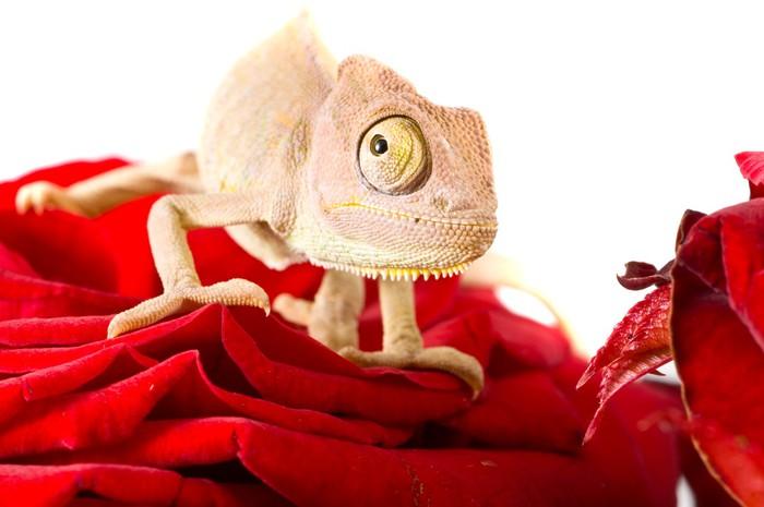 Vinylová Tapeta Malý chameleon - Ostatní Ostatní