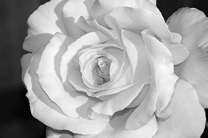 Carta Da Parati Rosa Bianca : Carta da parati rosa bianca 7 u2022 pixers® viviamo per il cambiamento