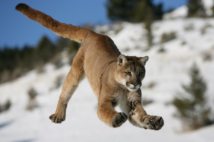 Plakát Mountain Lion jumping - Lvi