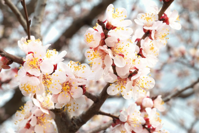 fototapete mandelbaum rosa bl ten pixers wir leben um zu ver ndern. Black Bedroom Furniture Sets. Home Design Ideas