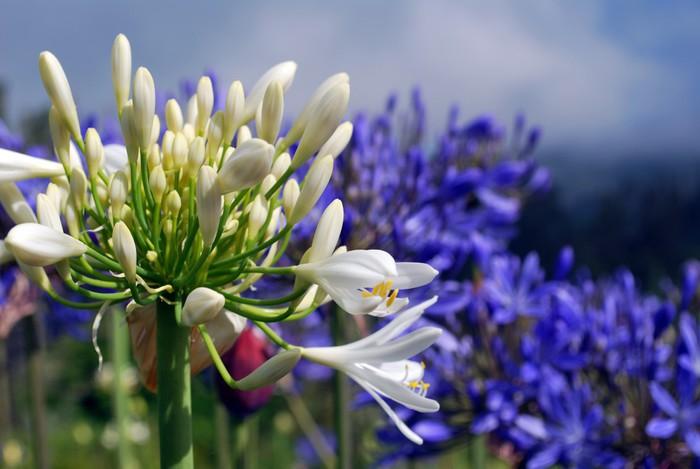 Nálepka Pixerstick Agapanthes bleues et Blanches - Příroda a divočina