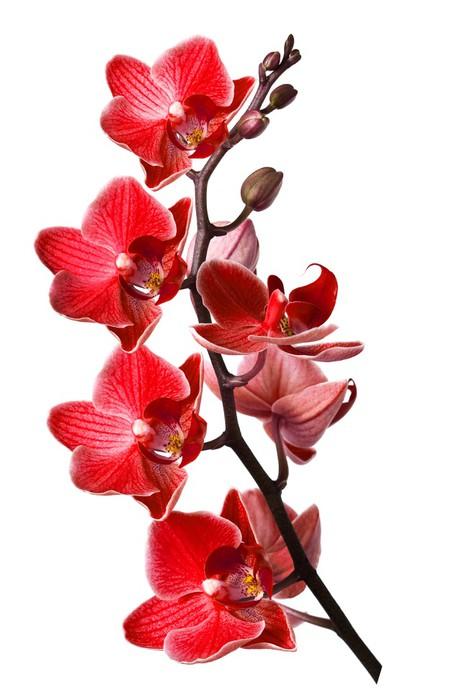 Vinylová Tapeta Orchideje izolovaných na bílém pozadí - Nálepka na stěny