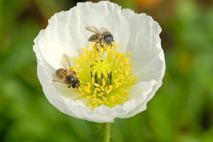White poppy flower Wardrobe Sticker • Pixers® • We live to change