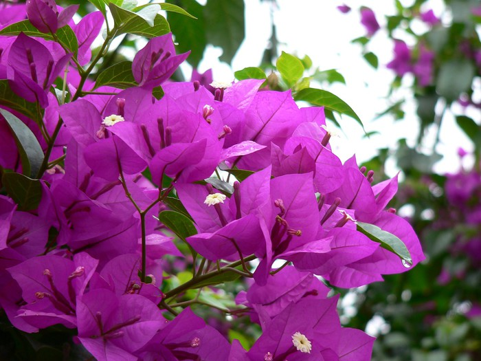 Vinylová Tapeta Bougainville - Květiny