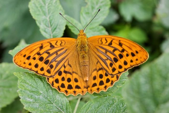 papier peint papillon orange noir pixers nous vivons pour changer. Black Bedroom Furniture Sets. Home Design Ideas