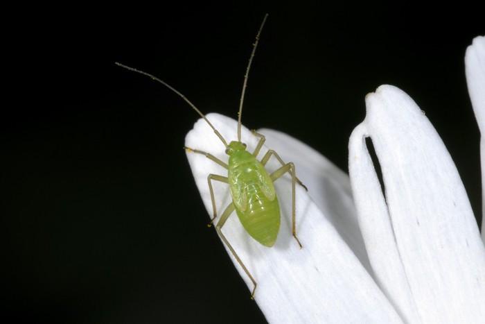 Vinylová Tapeta Obyčejný zelený kapsid, lygocoris pabulinus - Ostatní Ostatní