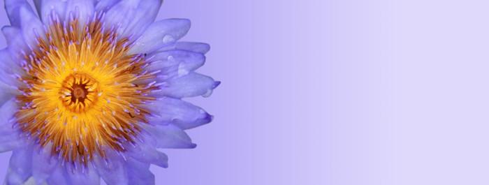 Vinylová Tapeta Fialová modrá Lotus izolovaných na modrém pozadí - Květiny