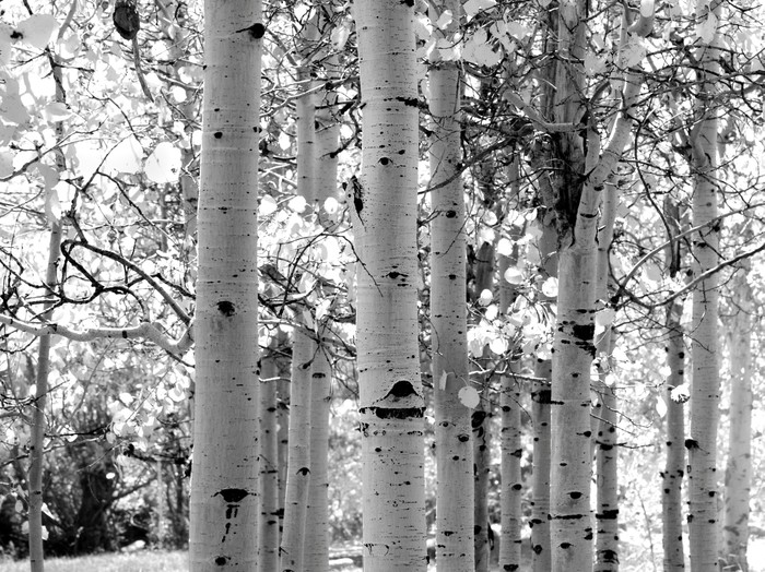 Black And White Image Of Aspen Trees Wall Mural   Vinyl   Styles