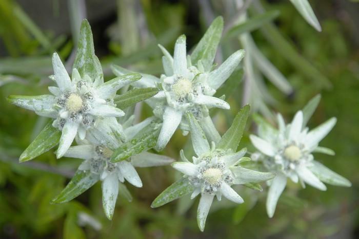 Vinylová Tapeta Stelle alpine - Květiny