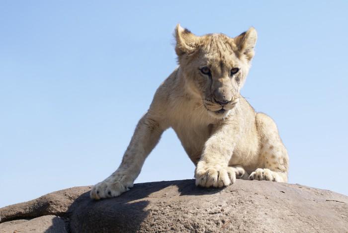 lion cub on a rock Vinyl Wallpaper - Themes