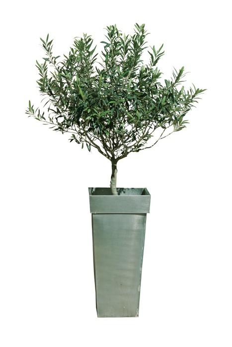 fototapete olivenbaum im topf pixers wir leben um zu ver ndern. Black Bedroom Furniture Sets. Home Design Ideas