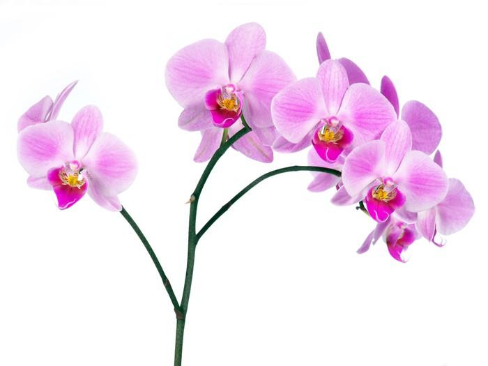 Nálepka Pixerstick Orchideje 1 - Nálepka na stěny