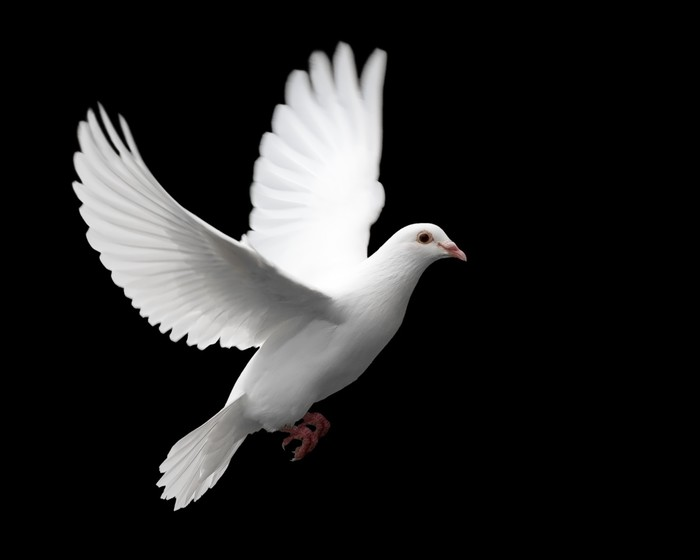 Vinylová Tapeta Bílá holubice v letu 1 - Styly