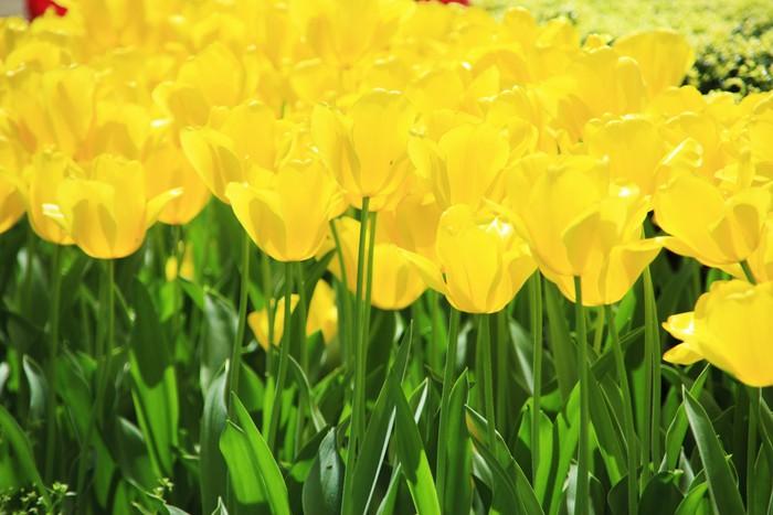 Vinylová Tapeta Žlutý tulipán - Témata