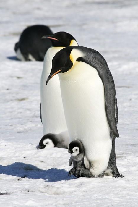 Vinylová Tapeta Císař tučňáci na mořském ledu v Weddell moře, Antarktida - Ptáci
