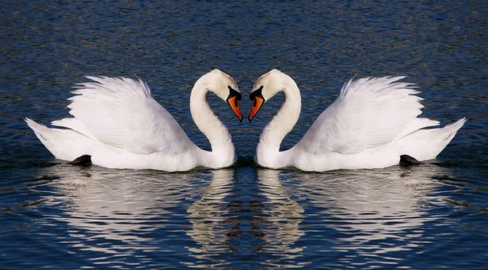 Retro Photograph Of Swans Hearts Symbol Of Everlasting Love Wall