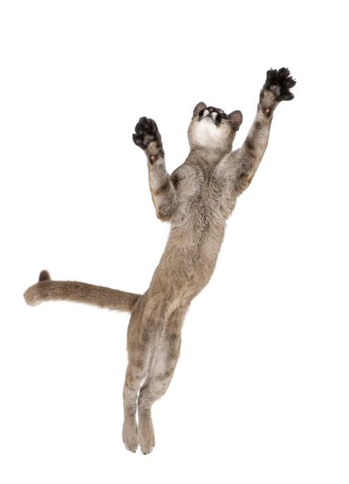 Vinylová Tapeta Puma mládě, skáče do vzduchu proti bílému pozadí - Savci