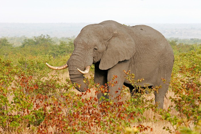 Vinylová Tapeta Slon africký - Savci