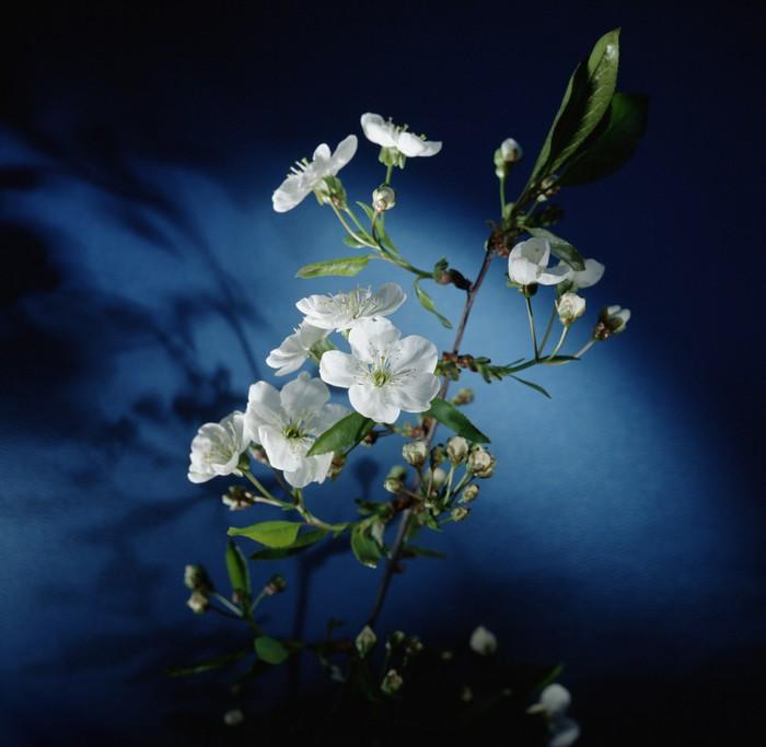 Vinylová Tapeta Meruňkových květů - Květiny