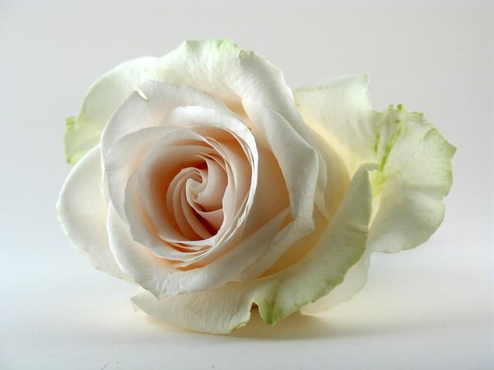 Carta Da Parati Rosa Bianca : Carta da parati rosa bianca su bianco u2022 pixers® viviamo per il