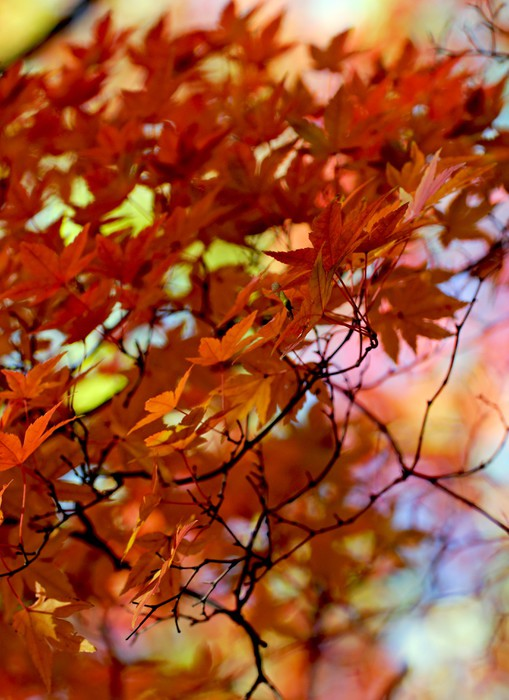 Vinylová Tapeta Japonské javorové listy - Roční období