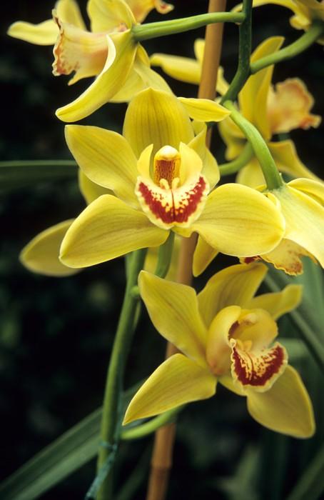 Vinylová Tapeta Žlutá Cymbidium orchidej - Květiny
