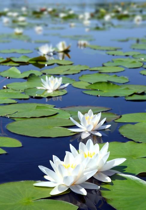 Vinylová fototapeta Léto jezírko s vodou lilie květů - Vinylová fototapeta