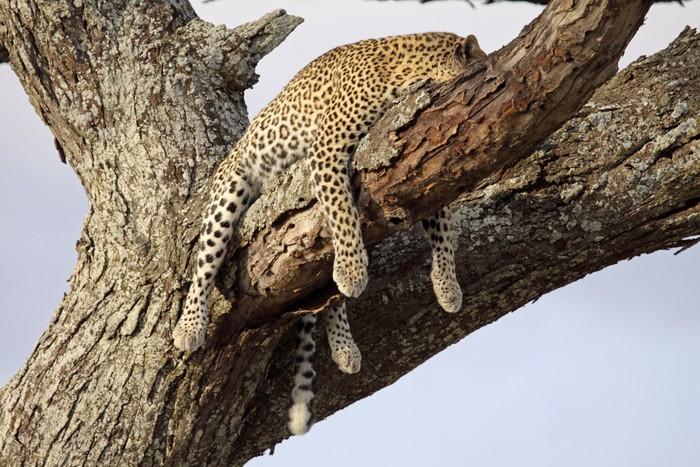 Papier Peint Vinyle Sleeping Leopard - Vie