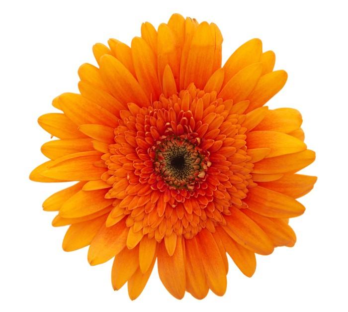 Cuadro En Lienzo Flor Margarita Naranja Pixers Vivimos Para Cambiar