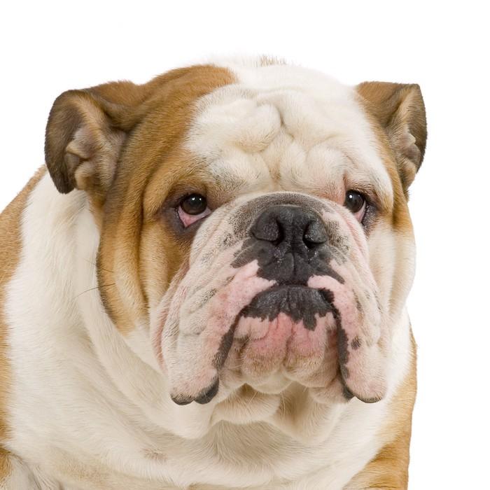 papier peint bulldog anglais pixers nous vivons pour. Black Bedroom Furniture Sets. Home Design Ideas