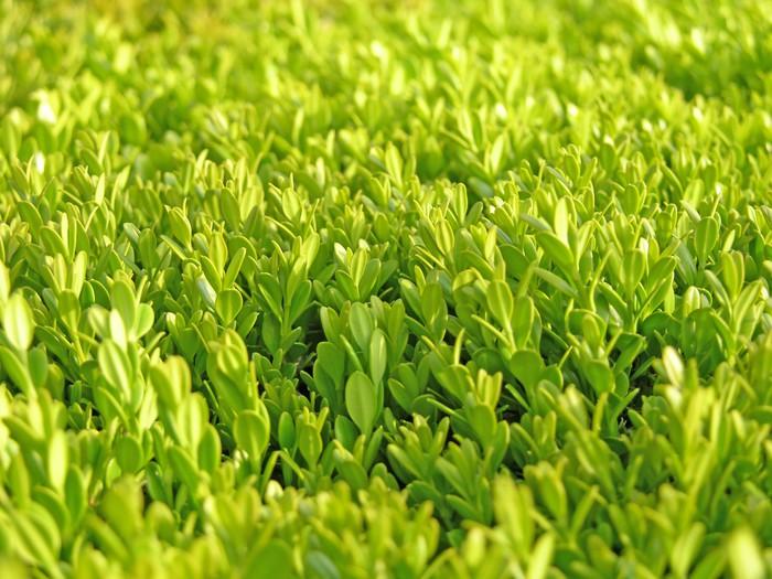 Vinylová Tapeta Živý plot - Rostliny