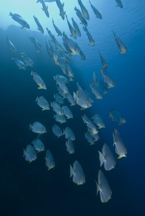 Vinylová Tapeta Batfish v modrém - Vodní a mořský život