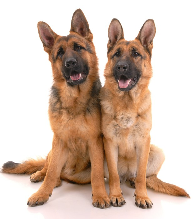 Plakát Dva němečtí pastevečtí psi na bílém pozadí .. - Savci