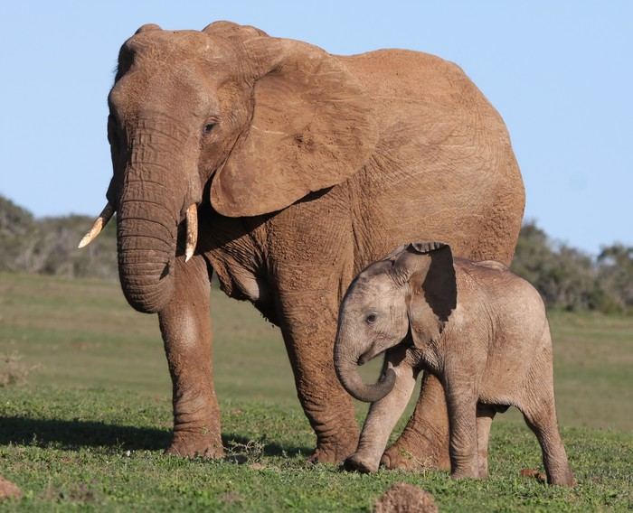 animal studies african elephants African elephants may transport seeds farther than any other land animal studies in asia and africa have shown that forest elephants consume a large amount.