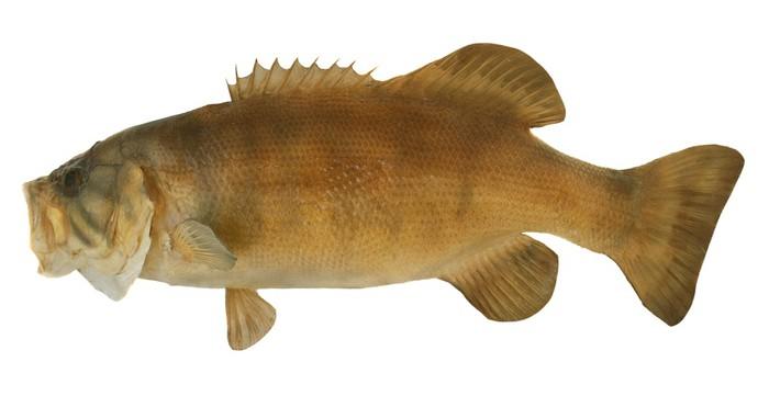 Vinylová Tapeta Smallmouth Bass profil - Nálepka na stěny