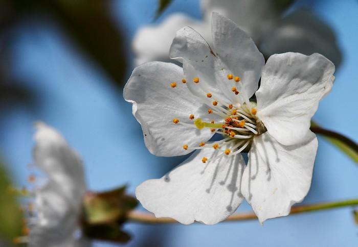 papier peint fleur de cerisier pixers nous vivons. Black Bedroom Furniture Sets. Home Design Ideas