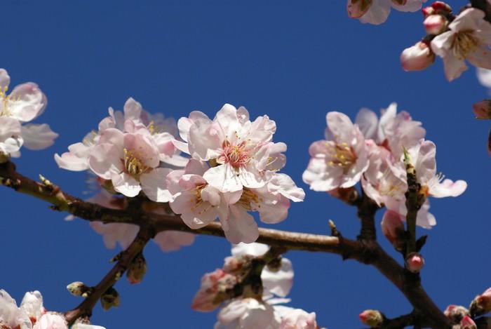 Vinylová Tapeta Almond květiny - Stromy
