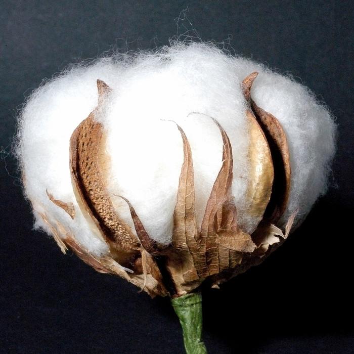 Vinylová Tapeta Bavlna květ - Květiny