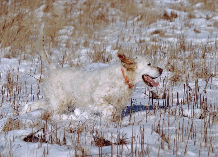 Vinylová Tapeta Happy Dog pet běh lov ve sněhu vysoké trávě - Savci