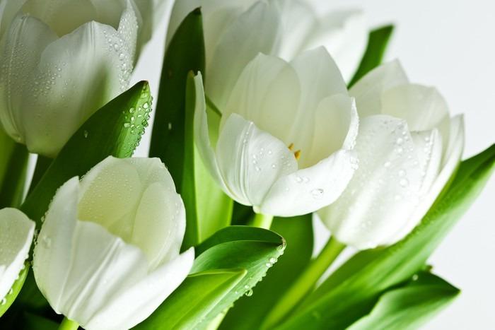 Tableau sur Toile Tulipes blanches - Thèmes