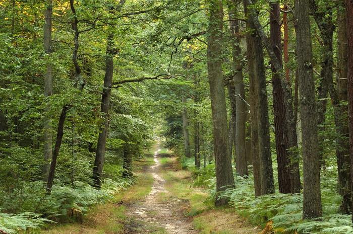 Papier Peint Vinyle Forêt - Forêt