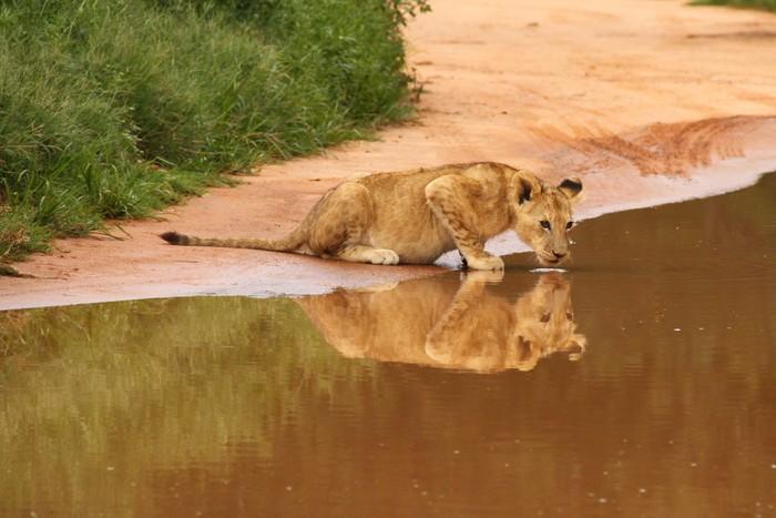 Vinylová Tapeta Dětská Löwe trinkt o Wasserstelle - Afrika