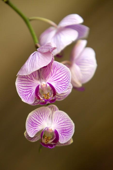 Vinylová Tapeta Fuchsia orchid - Květiny
