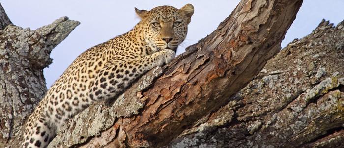 Nálepka Pixerstick Lounging Leopard - Savci