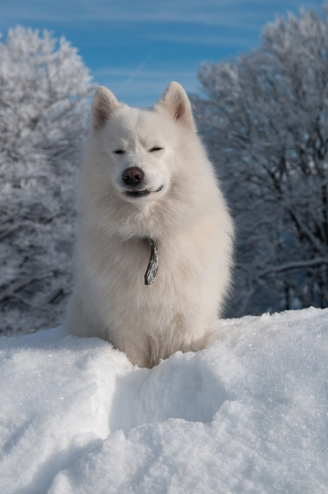 Vinylová Tapeta Samojed Pes v zimním lese - Roční období